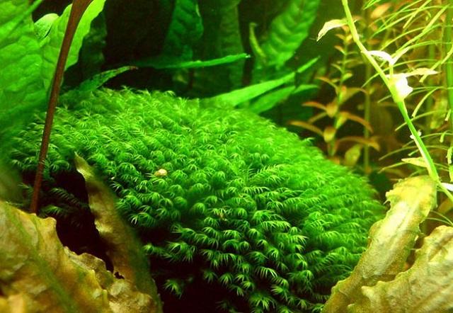 các loại cây thủy sinh dễ tìm ngoài tự nhiên